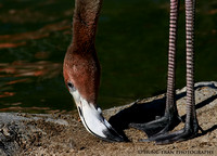 6) Flamingo touching it's toes.
