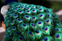 16) Peacock tail feathers.