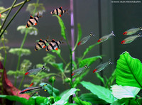 19) School Tiger Barbs, Runny Nosed Tetras and a Torpedo Barb.
