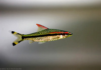 16) Red-lined Torpedo Barb.