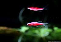 18) Pink Danio swimming at the surface.
